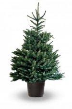 Gratis bezorging kerstboom met kluit in pot