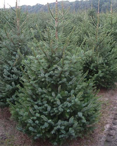 Kerstboom Bestellen Bij Odenneboom Nl