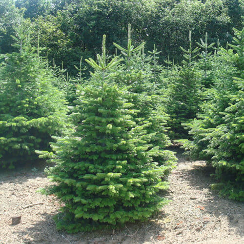 Nordmann Kerstboom Bestellen Bij Odenneboom Nl